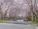 Cherry blossoms on Snow Meadow Lane